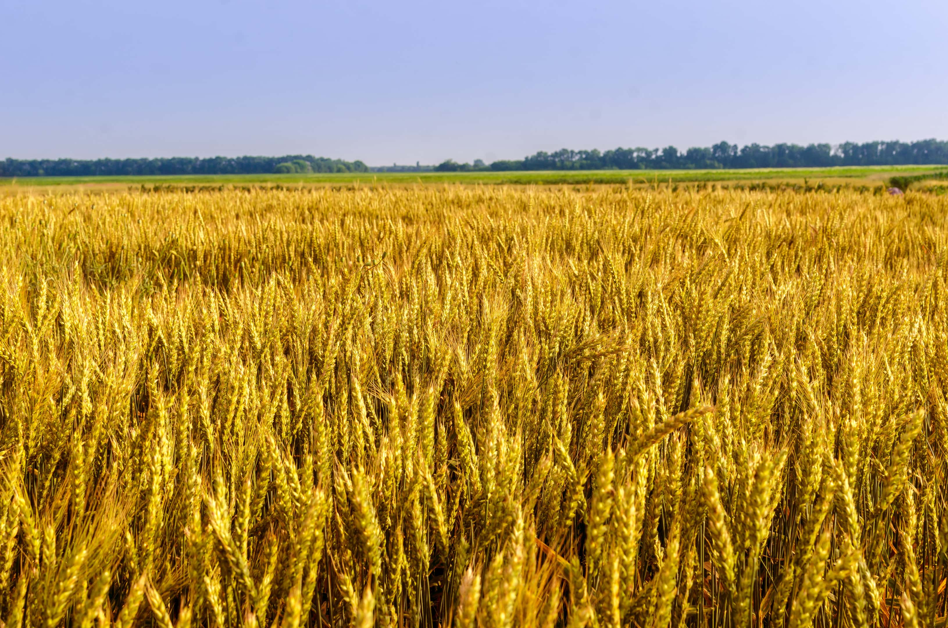 The boundless golden spelt field