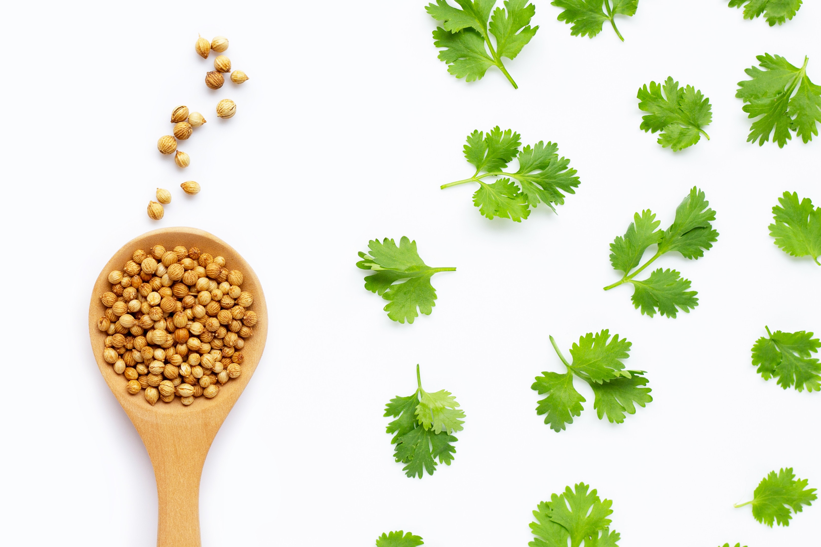 Coriander seeds with fresh coriander leaves isolated white