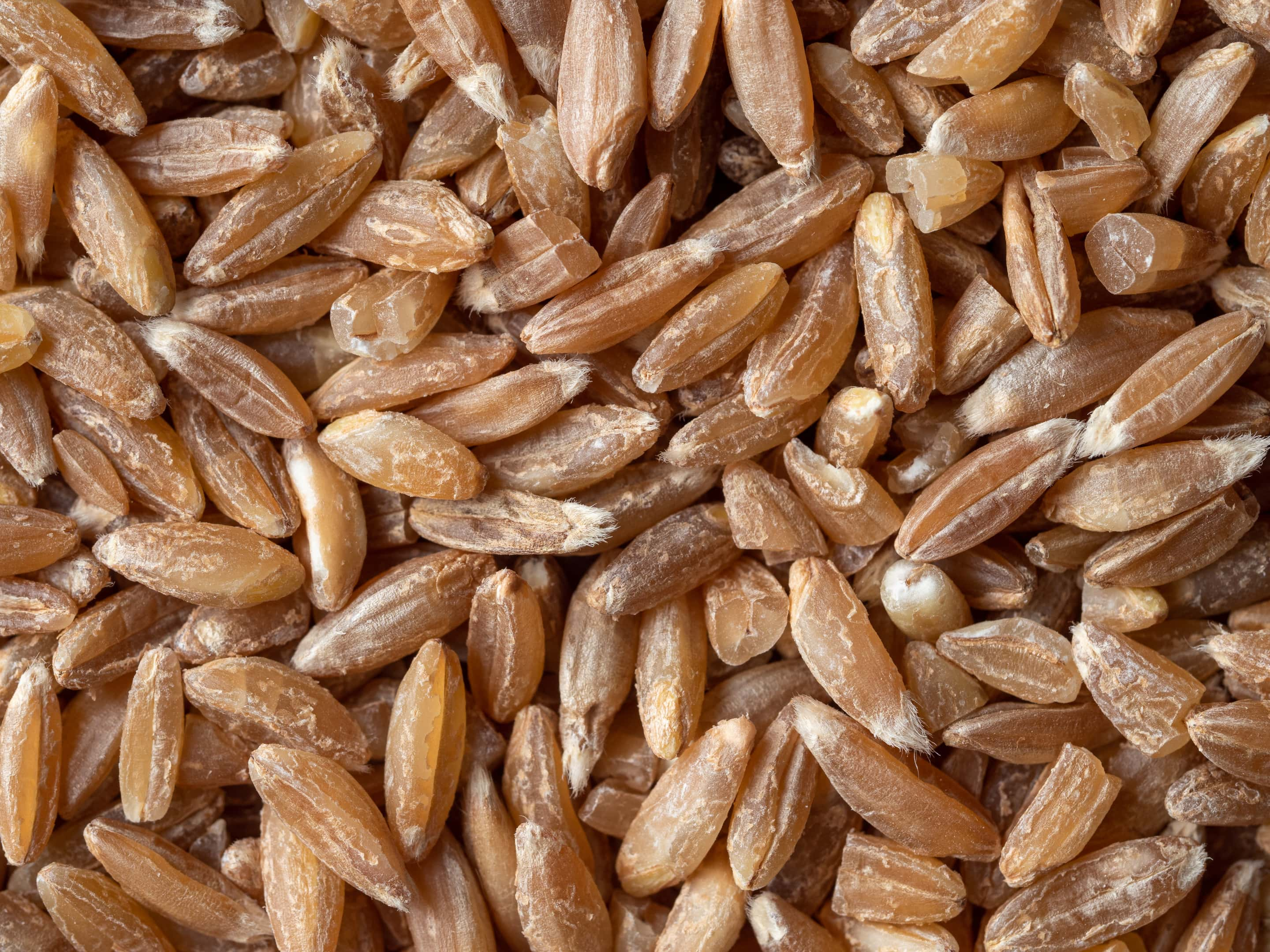 Spelt seeds close-up