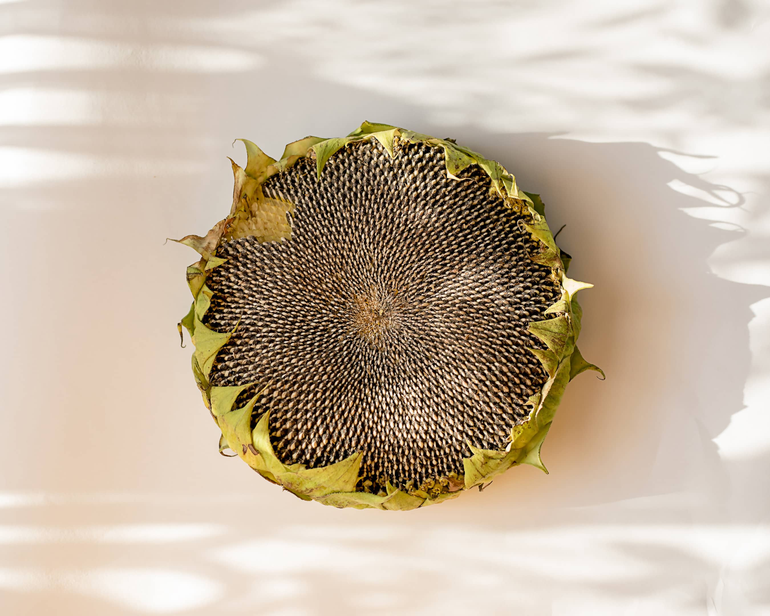 Mature sunflower with seeds on gray table