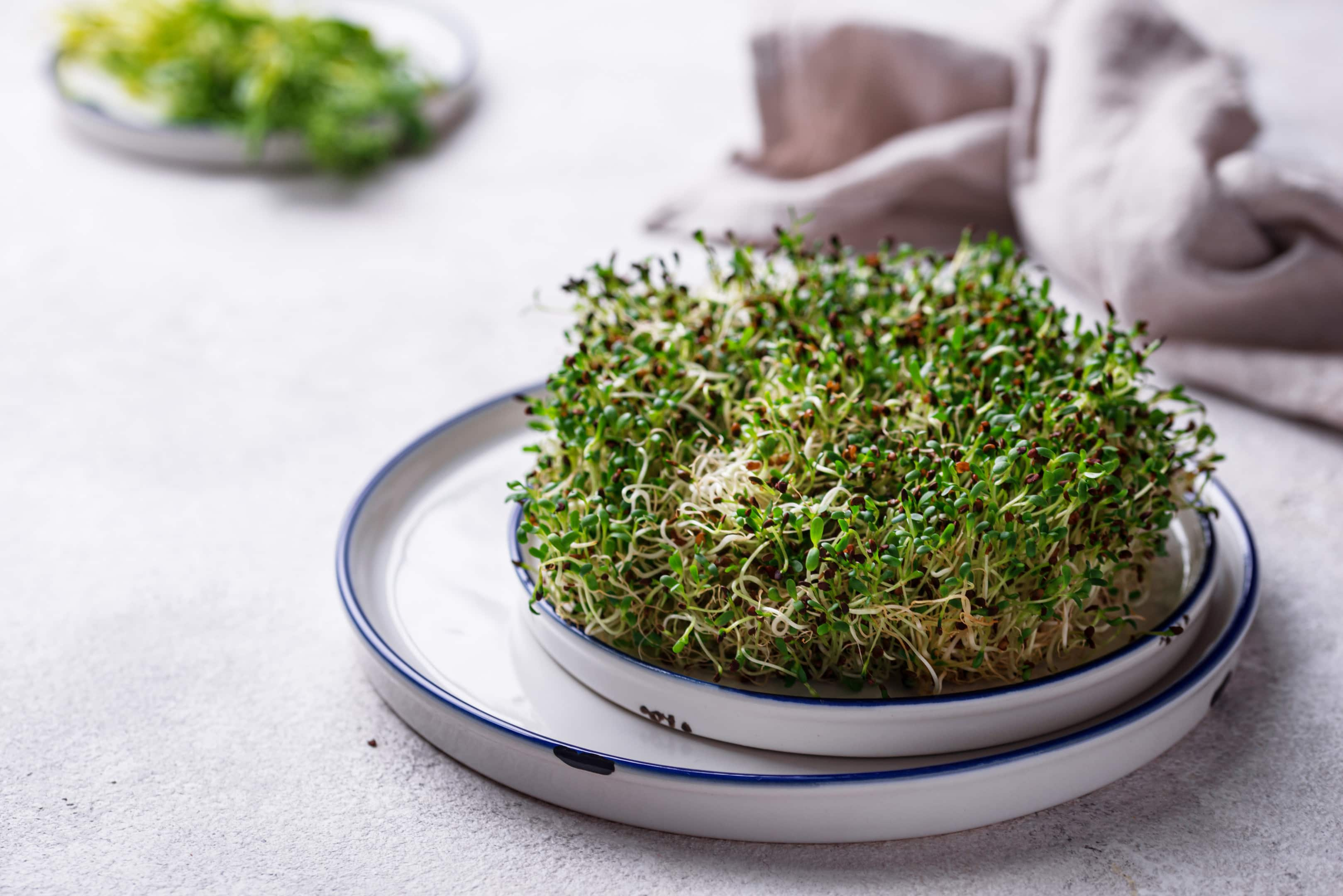Microgreen sprouts alfalfa on plate