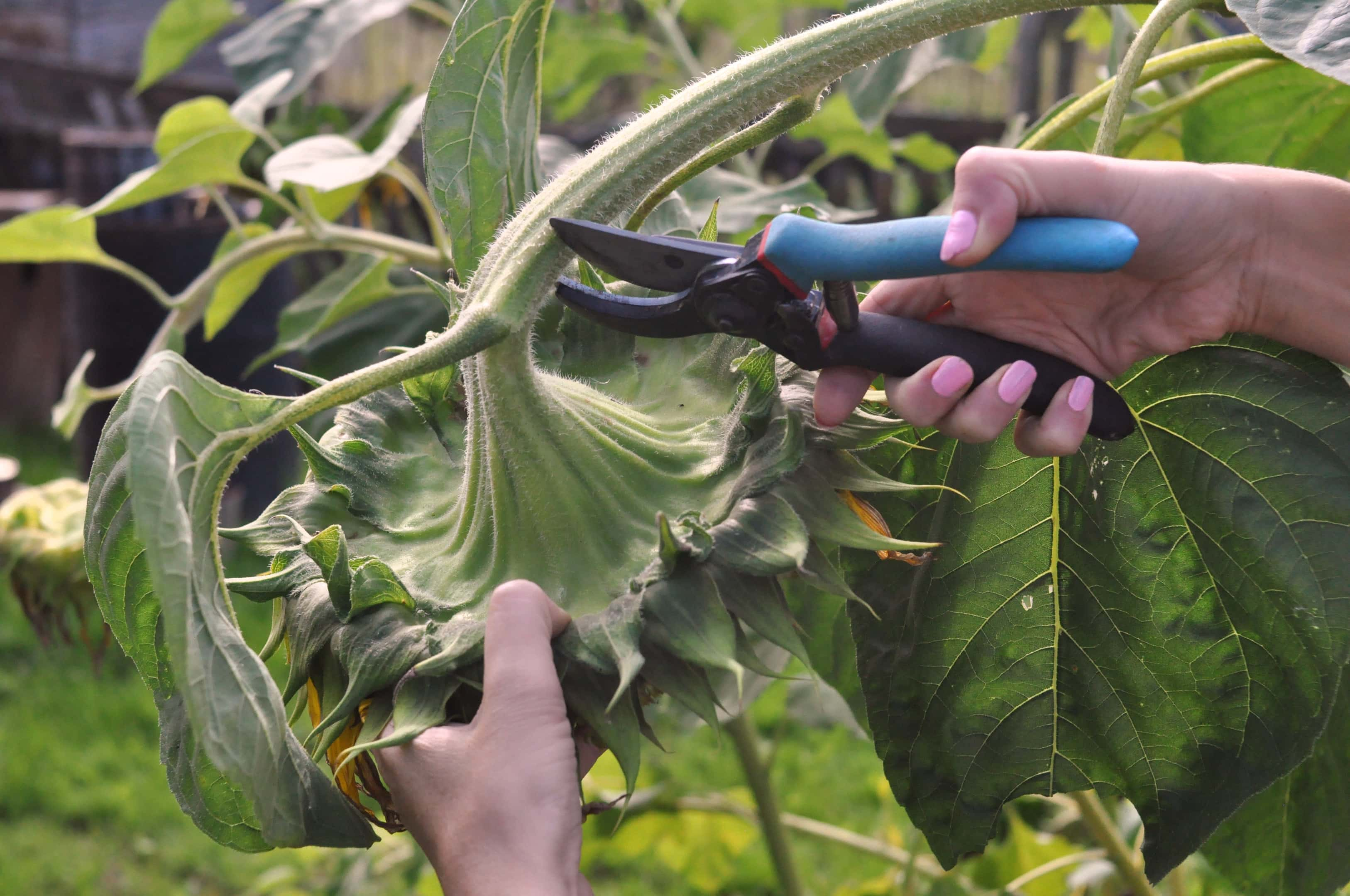 Ripe sunflower is harvested