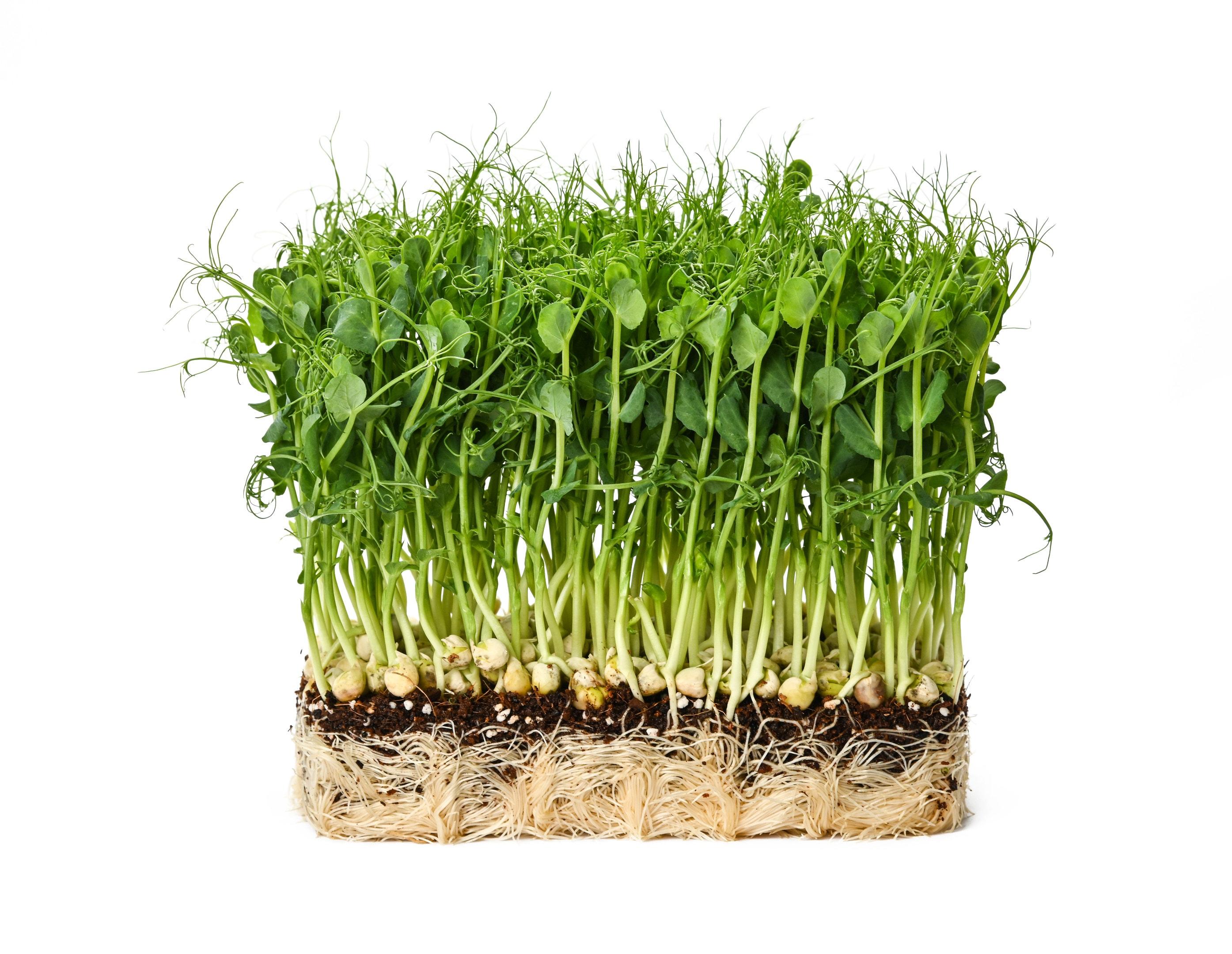 Fresh green peas microgreen sprouts