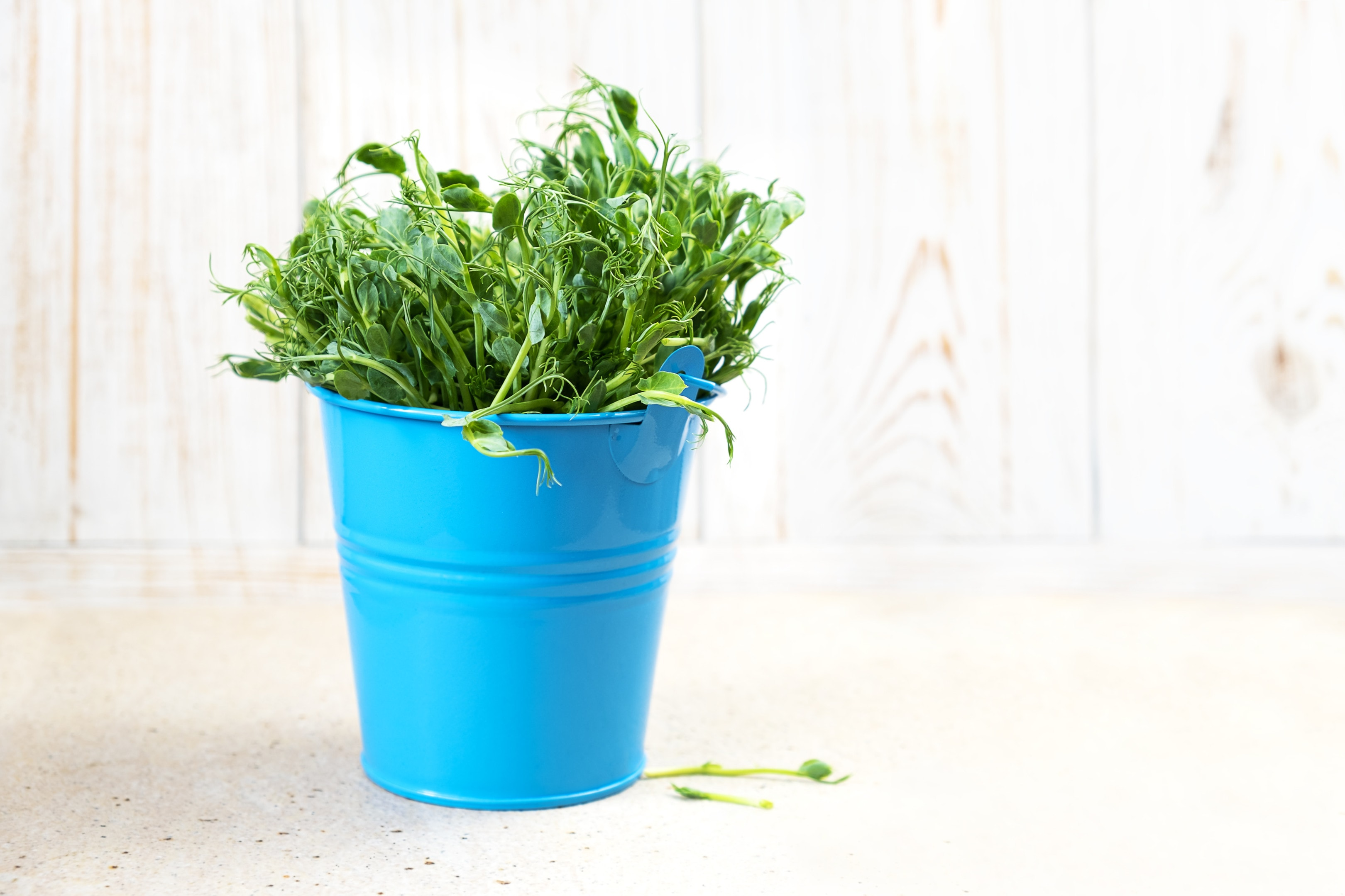 Micro greens snow pea sprouts in blue bucket