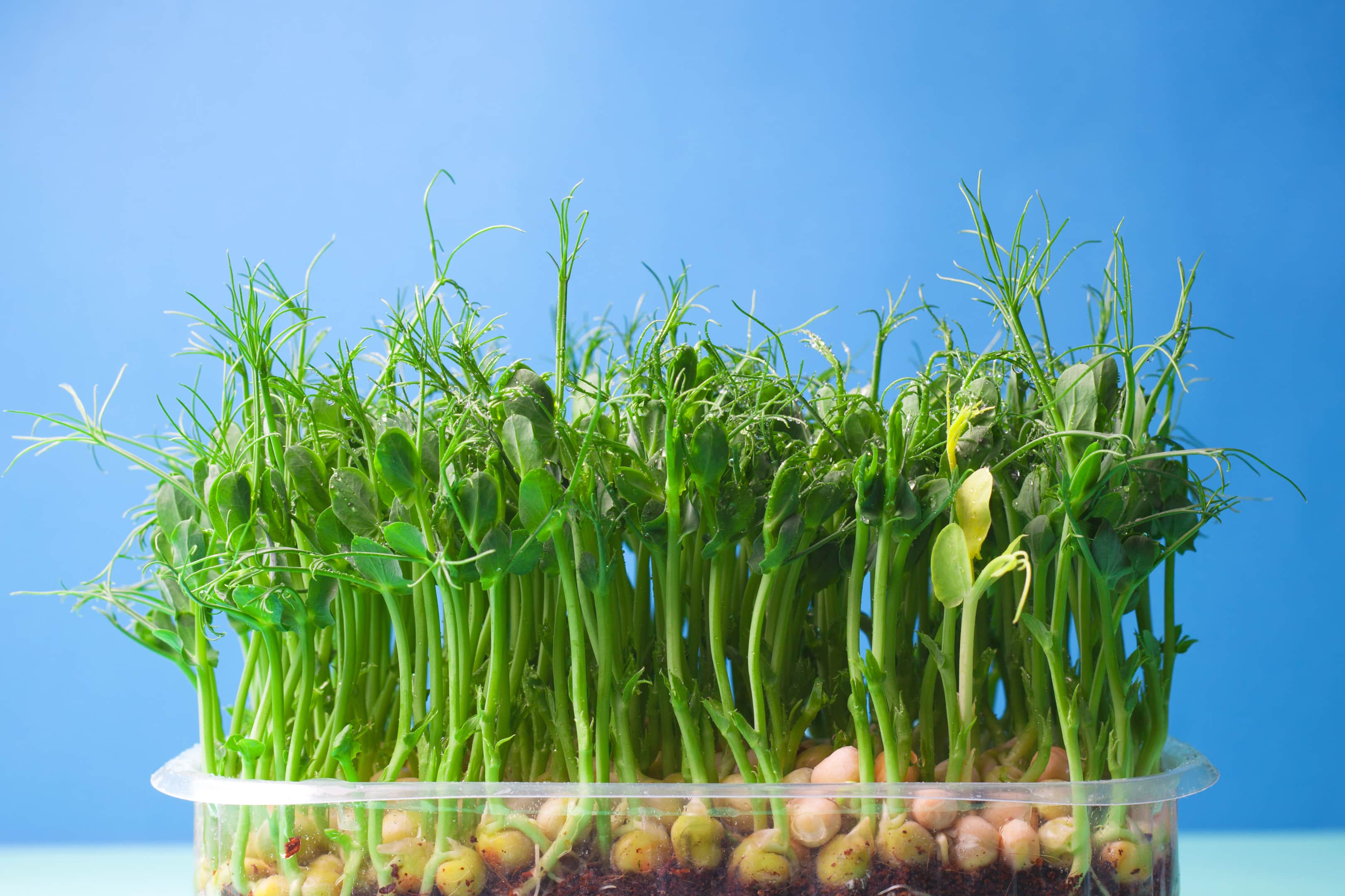 Pea shoots microgreen sprouts grown in plastic tray