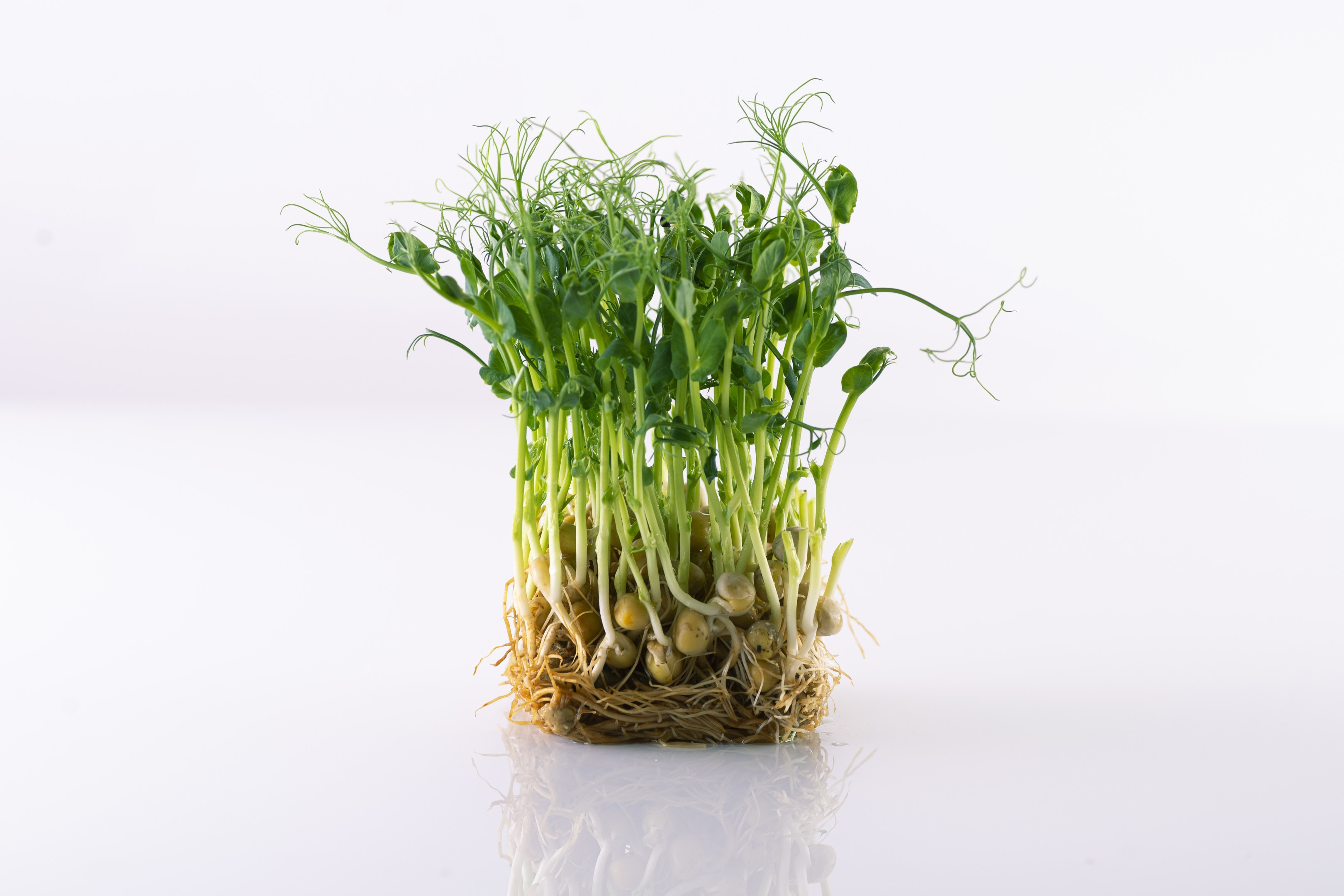 Pea shoots on white surface micro greens growing