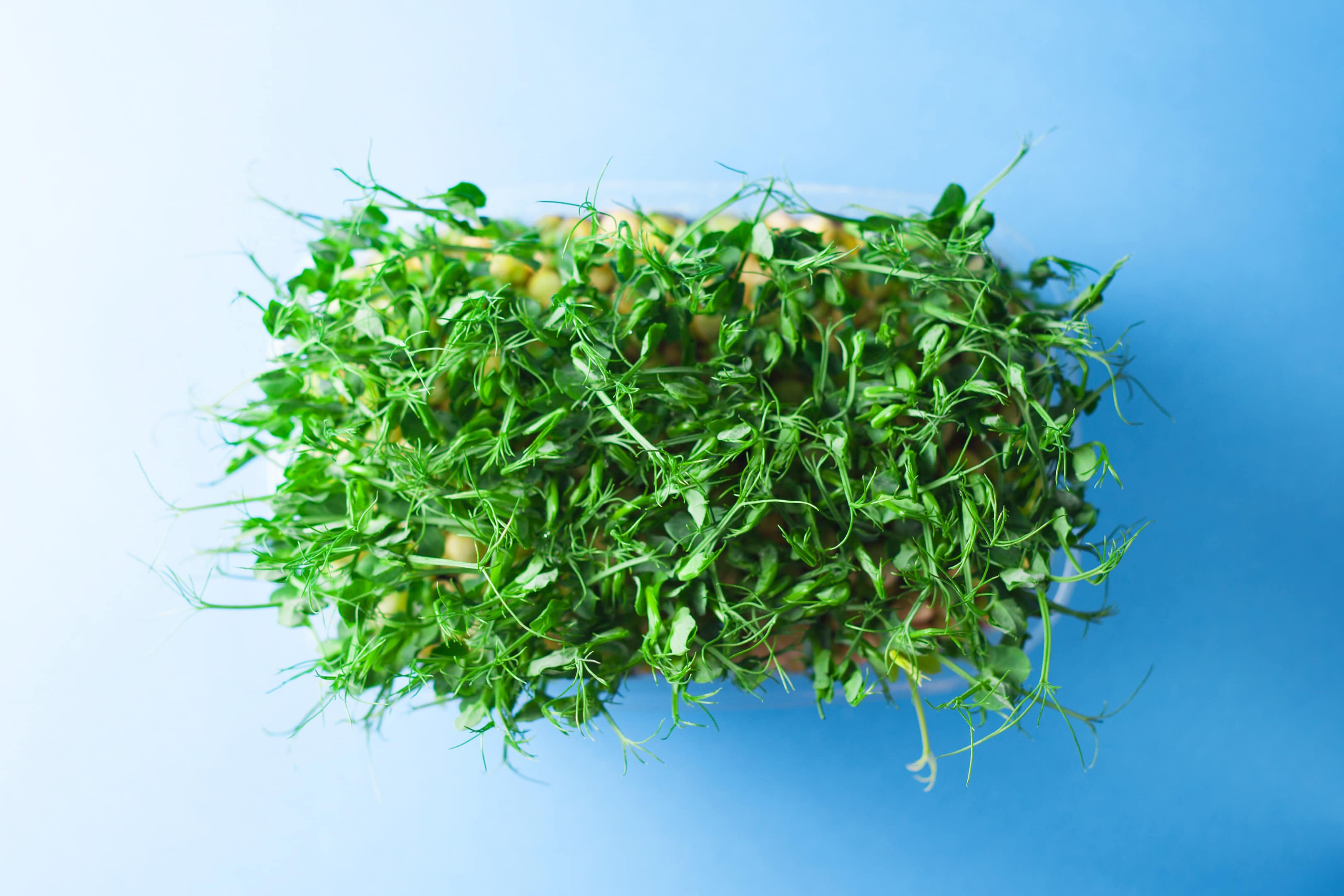 Young pea shoots sprouts microgreen on blue background